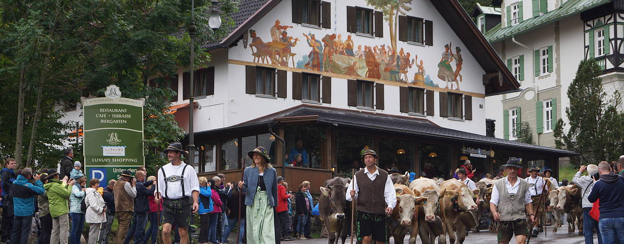Yearly tradition: cattle drive in Hohenschwangau mid-September